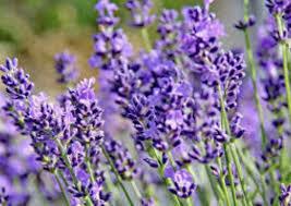 Lavandula Phenomenal Lavender (quart perennial) $9.99