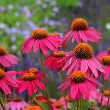 Echinacea Pow Wow WILD BERRY Coneflower (gallon perennial) $15.99