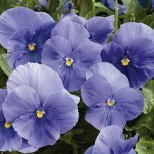 Pansy True Blue (4