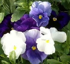 Pansy Cool Water Mix (3 pack)