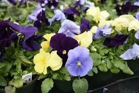 Pansy Tricolor Mix (4