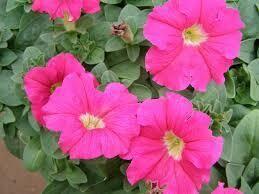 .Petunia Rose (3 pack)