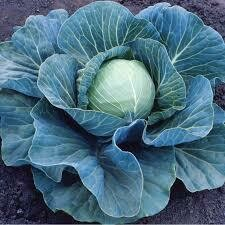 Cabbage Stonehead Early Season (3 pack vegetable)