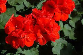 Jumbo Geranium Patriot Red (7