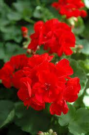 "Jumbo Geranium Patriot Bright RED/ Patriot Red (7"" Jumbo pot)"