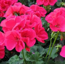"Jumbo Geranium Patriot Rose Pink/ Patriot Cherry Rose (7"" Jumbo pot)"