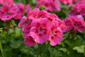 Jumbo Geranium Savannah Pink Splash (7