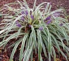 Grass O. Silver Dragon (gallon perennial) $19.99