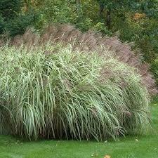 Grass Miscanthus Variegatus Maiden (gallon perennial) $19.99