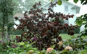 Filbert Contorted Corylus Red Dragon $149.99