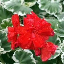 "Geranium Wilhelm Langguth BICOLOR White & Green Leaf (4 1/2"" pot)"