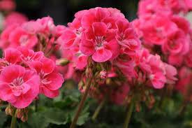 "Geranium Fantasia Strawberry Sizzle (4 1/2"" pot)"