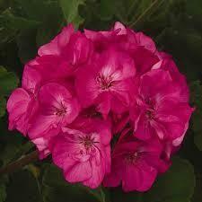 """Geranium Patriot Rose Pink/ Patriot Cherry Rose (4 1/2"""" pot)"""