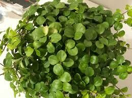 "Peperomia Rotundifolia (4"" pot house plant)"