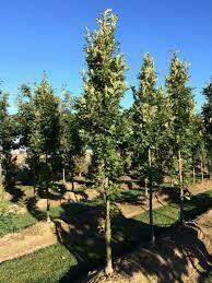 Oak Streetspire Quercus (15 gallon pot) $239.99