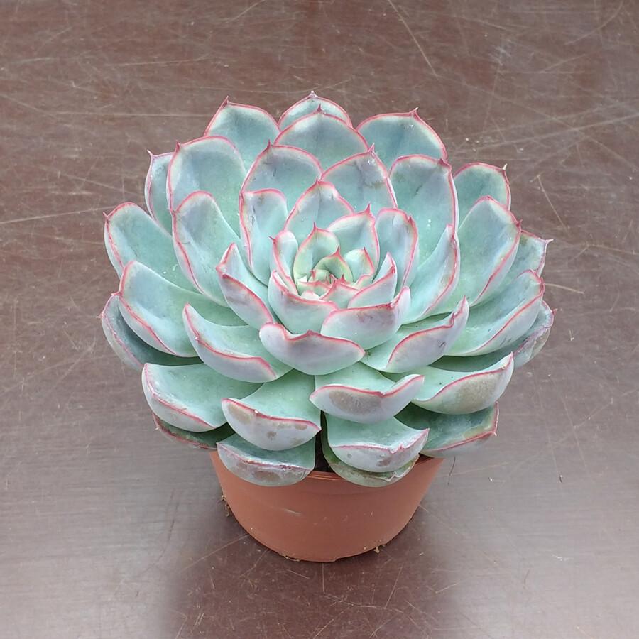 """Echeveria 'Hercules' (3 1/2"""" pot succulent) $7.99"""