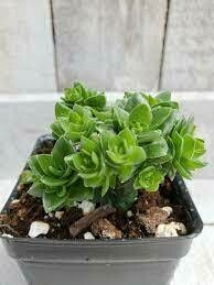 "Crassula spiralis 'Black Curl' (3 1/2"" pot succulent) $7.99"