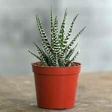 "Haworthia 'Big Band' Zebra Plant (3 1/2"" pot succulent) $7.99"