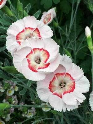 Dianthus American Pie Georgia Peach Pie (gallon perennial) $15.99
