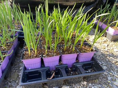 "Garlic Duganski (3"" herb pot) $6.99"
