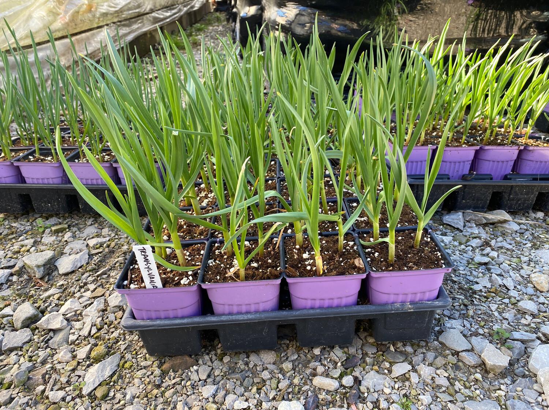 """Garlic Transylvanian (3"""" herb pot) $6.99"""