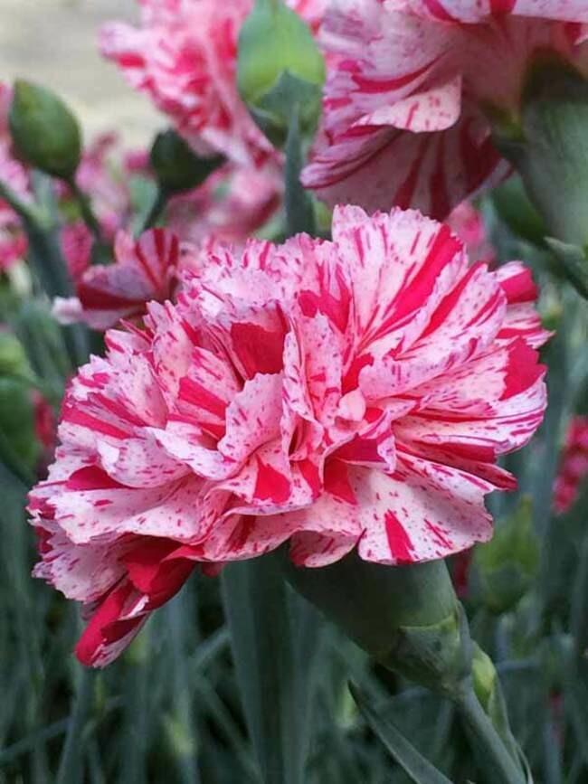 Dianthus Pinball Wizard (quart perennial) $9.99
