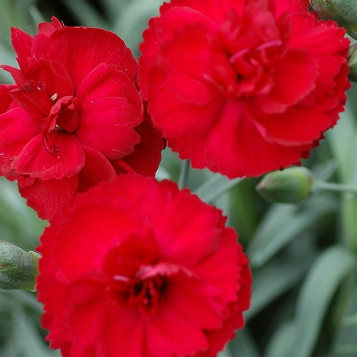Dianthus Early Bird RADIANCE (quart perennial) $9.99
