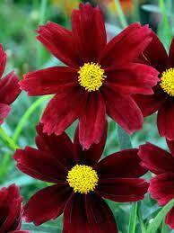 Coreopsis Lil Bang RED ELF (quart perennial) $9.99