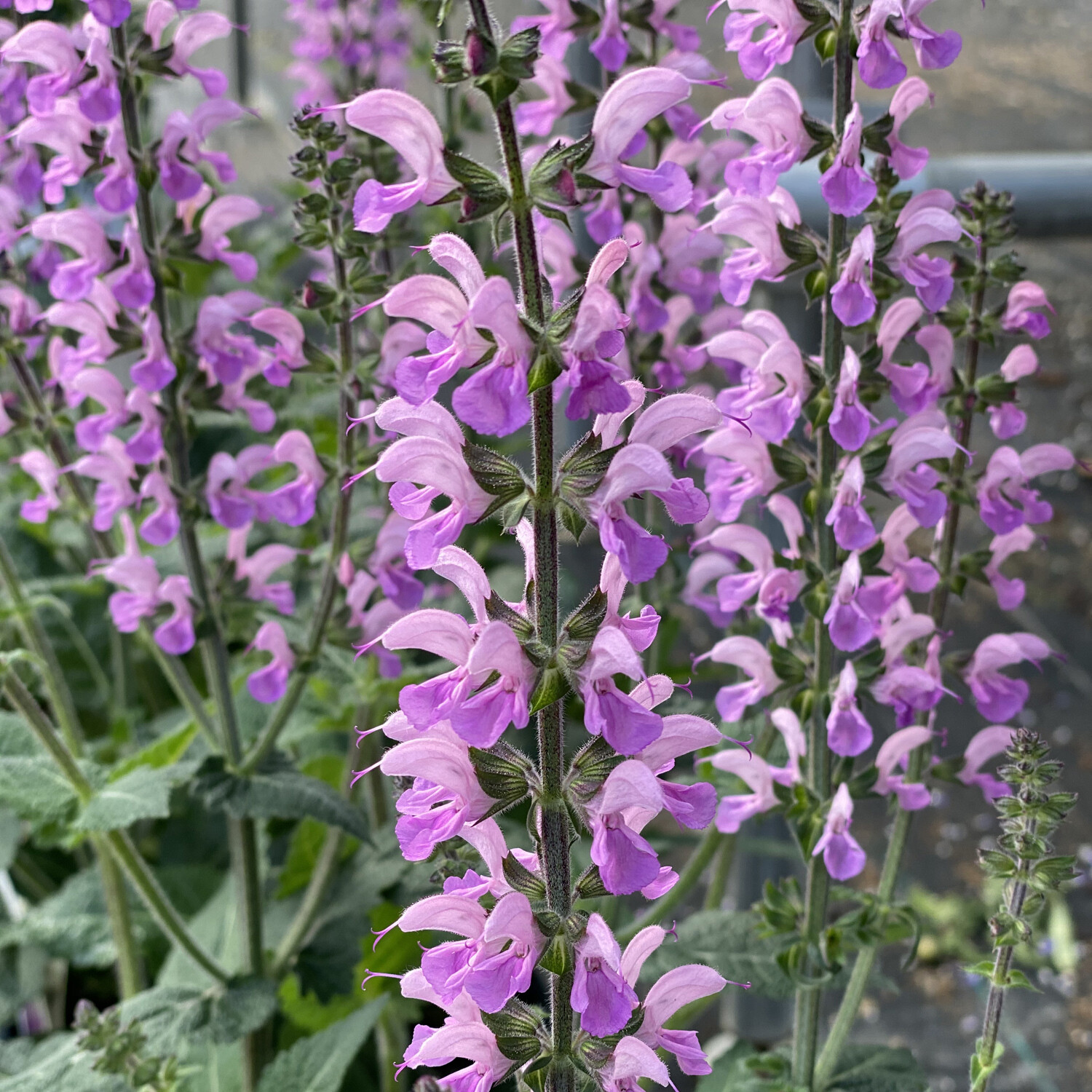 Salvia Color Spires Back to the Fuchsia (gallon perennial) $22.99