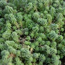 Sedum sexangulare Stonecrop (quart perennial) $9.99
