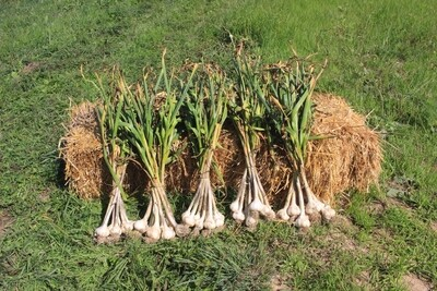 Garlic Heads: 10lbs