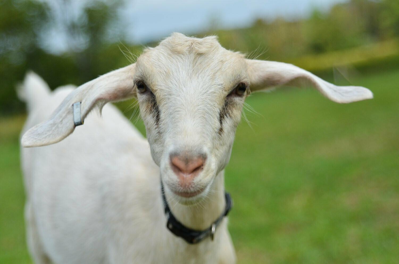 6 oz. Goat Cheese - 2 Kids Goat Dairy - Cuyler, NY
