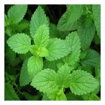 Peppermint Essential Oil 1 oz.