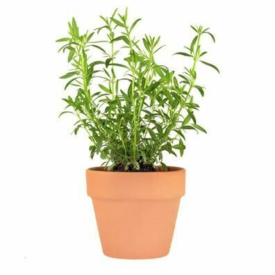 Tarragon Essential Oil 1 oz.