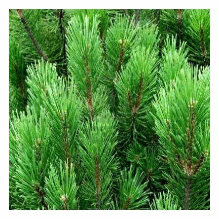 Pine Needle Essential Oil 1/2 oz.