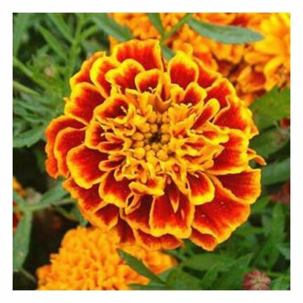 Tagetes Essential Oil 1/4 oz.