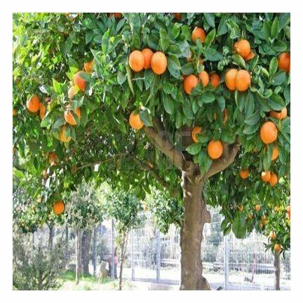 Tangerine Essential Oil 1/2 oz.