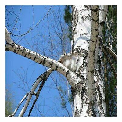 Birch Bark c/s