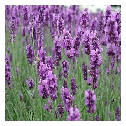 Lavender ATI 1/4 oz.
