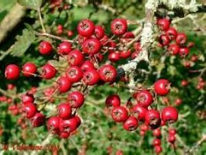 Hawthorne Berries Whole