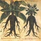 Mandrake Root 2108