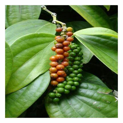 Pepper, Black, Sichuan 230