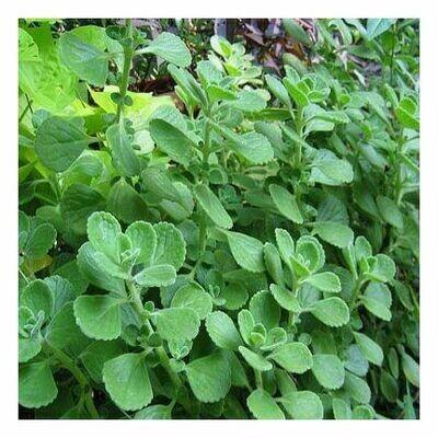 Oregano Leaf (cut & sifted)  281