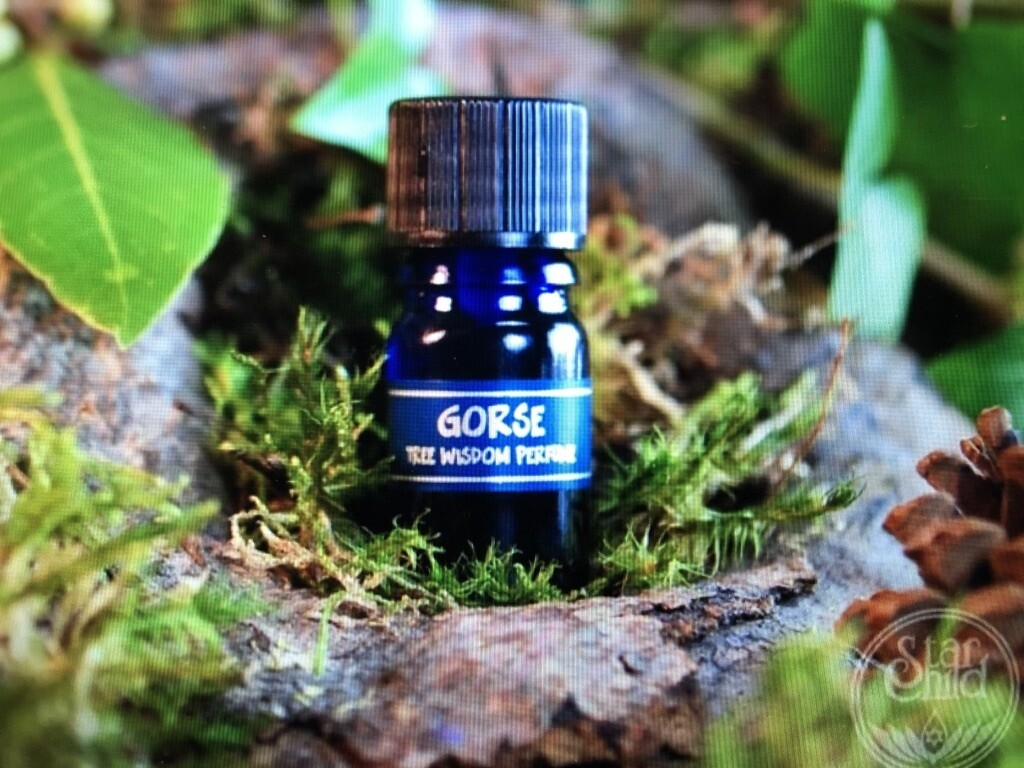 Gorse Tree Perfume