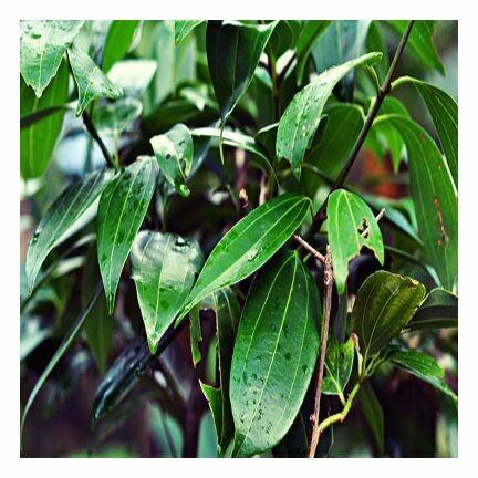 Cinnamon Leaf, 1 oz.