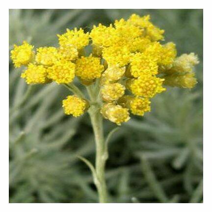 Helichrysum, 1 oz. (italica)
