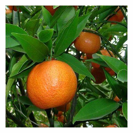 Mandarin Red Orange 1/2 oz.