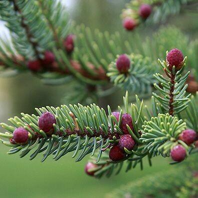 Black Spruce, 1 oz.