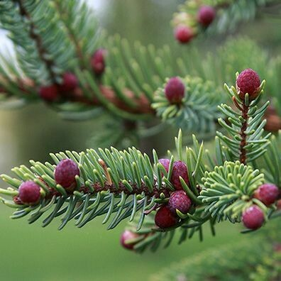 Black Spruce 1/4 oz.
