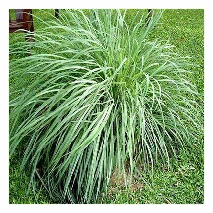 Citronella 1/4 oz.